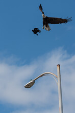 Eagle Taking Flight To Avoid Crow