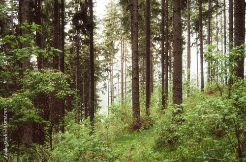 Green misty pine tree forest environment - 369116798