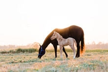 Foal And Mare Grazing