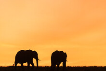 Elephant Silhouettes In The Li...