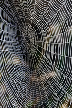 Detail Of A Spider Web Covered In Dew Droplets. Norfolk, UK.