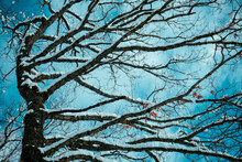 Snow Covered Branches And A Turquoise Sky