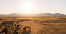 Group Of Wild Horses Roaming O...