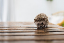 Gorgeous Little African Hedgehog