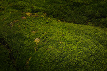Beautiful Green Moss In Nature. Macro Photography With Natural Light.
