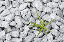 Lonely Wild Plant On Crushed Stone.