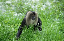 LION TAILED MACAQUE Macaca Silenus, ADULT WALKING IN LONG GRASS