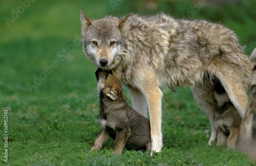 EUROPEAN WOLF canis lupus, FEMALE WITH YOUNGS Fototapeta
