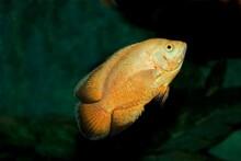 TIGER OSCAR FISH Astronotus Ocellatus