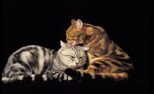 SILVER TABBY AND BROWN TABBY DOMESTIC CATS, GROOMING