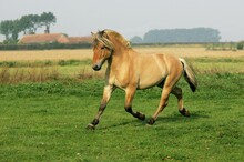 NORWEGIAN FJORD HORSE, STALLIO...