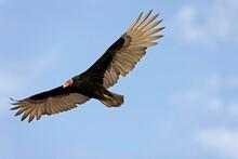 TURKEY VULTURE Cathartes Aura, ADULT IN FLIGHT, PARACAS NATIONAL PARC IN PERU