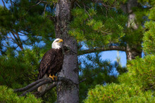 Bald Eagle (Haliaeetus Leucocephalus) Perching On Branch In A Pine Tree