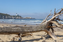Yaquina Head Lighthouse With Twisted Driftwood On The Beach