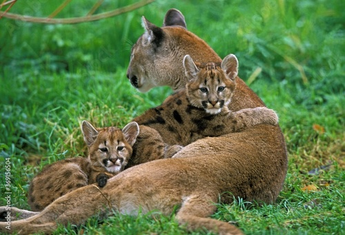 Slika na platnu COUGAR puma concolor, MOTHER WITH CUBS