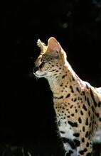 SERVAL Leptailurus Serval, ADULT