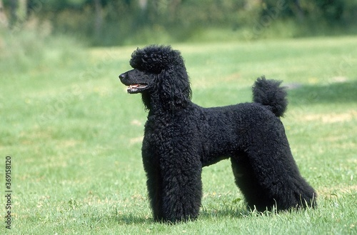 BLACK GIANT POODLE, ADULT STANDING ON GRASS Canvas Print