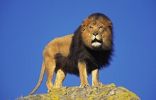 AFRICAN LION Panthera Leo, MALE STANDING ON ROCK