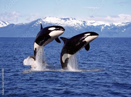 Fotografie, Obraz KILLER WHALE orcinus orca, PAIR LEAPING, CANADA