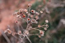 Ladybugs On An Autumn Dry Flower