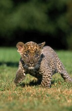 LEOPARD Panthera Pardus, CUB WALKING ON GRASS