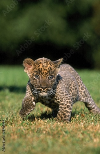 Valokuvatapetti LEOPARD panthera pardus, CUB WALKING ON GRASS