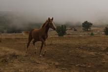 Foal Run Across The Field In The Fog