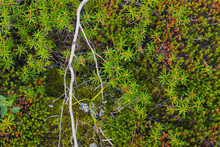 Moss, Deer Or Caribou Moss Is A Fungus Or Lichen Growing Primarily In Tundra . Summer Nature Yakutia, Perfect For Northern, Nordic, Russian, Scandinavian Nature Design As A Backgound.