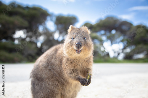 фотография The happiest animal quokka is smiling and greeting you at Rottnest Island in Per