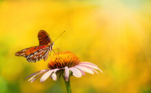 Gulf Fritillary Butterfly (Agraulis Vanillae) Feeding On Purple Coneflower In Summer Garden. Bright Yellow Flower Bokeh Background With Copy Space.