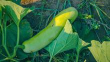 Organic Bottle Gourd Growing At Farm