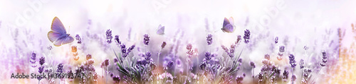 Papel de parede Purple blossoming Lavender and flying butterfly in nature panorama