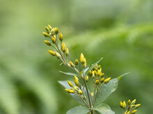 Large Yellow Loosestrife - Lys...