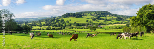 Fényképezés A herd of dairy Holstein cattle grazing in field allong the Wye Valley in the peak District of Derbyshire