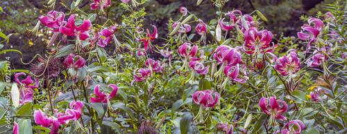 Fotografie, Tablou Stargazer lily