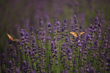 Brown Butterfly On Purple Lave...