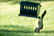 Squirrel Trying To Get Bird Feeder Seeds. Hanging Upside Down