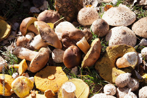 Photo Cut porcini mushrooms, boletus and parasol mushrooms lie in heap in a sunny mead