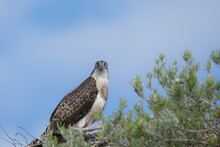 Young Osprey Standing In A Nest And Stares Intently Straight Down
