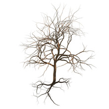 Leafless Tree With Branches, Twigs And Exposed Roots Isolated On A White Background