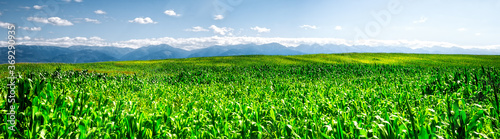 Photo Green cornfield with Fagaras mountains in the back, Romania