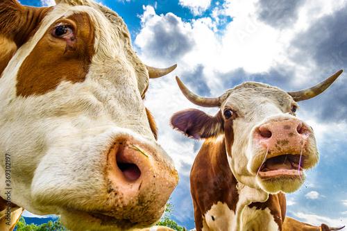 nice cow Fotobehang