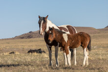 Wild Horse Mare And Foal In Th...