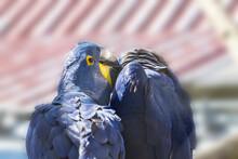 The Blue Macaw Ara Hyacinth Ha...