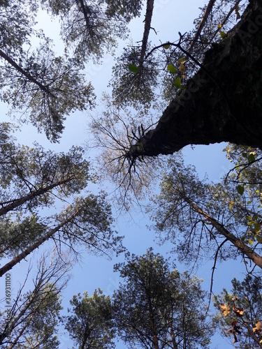 niebo w lesie