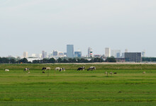 Cows In A Dutch Polder Landsca...