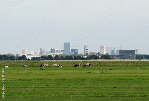 Photo Cows in a Dutch polder landscape with the skyline of Rotterdam in the background