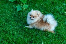 Pomeranian Spitz Lies On The Grass, Close-up
