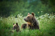 Brown Bear Family In The Grass...