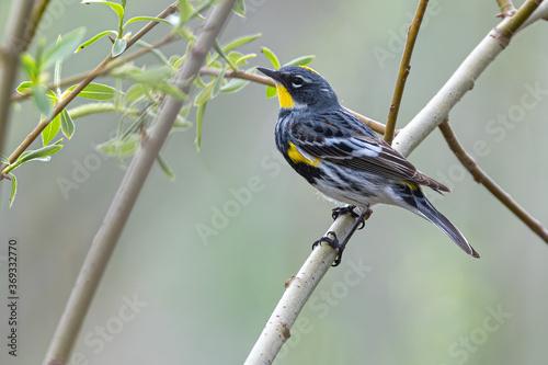 Cuadros en Lienzo Yellow-rumped Warbler (Setophaga coronata) Perching on a Tree